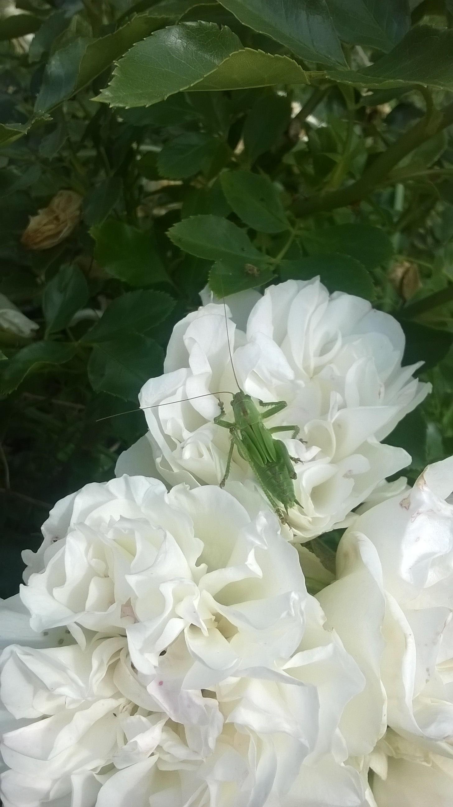 Rose Rampicanti Senza Spine il nome della rosa | vilma