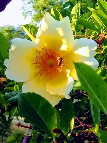 Rosa Marmeid1