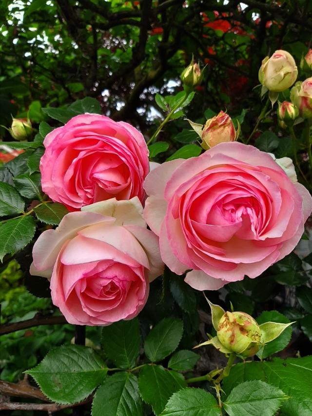 rose di maggio (2)